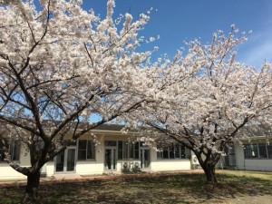 s1604_桜2